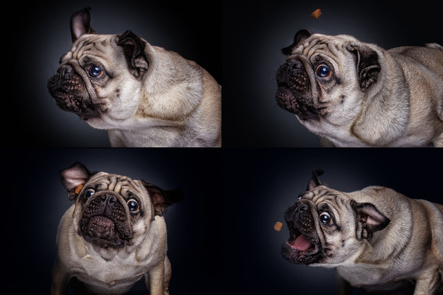 """A pug. Christian said: """"Every shoot I am looking for that specific moment when the dog is looking as cute or funny as they can be"""". (Photo by Christian Vieler/Caters News)"""