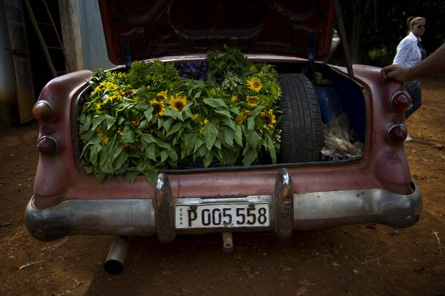 In this Thursday, January 29, 2015 photo, the truck of a rented 1957 Buick is stuffed with sunflower bunches at a farm in San Antonio de los Banos, Cuba. Private flower vendor Yaima Gonzalez Matos rents the American classic for about $20 a day, to transport the flowers to the capital. It's a tough job: Gonzalez's suppliers hardly ever fill all her requests for reasons that range from bad weather to competitors outbidding her. (Photo by Ramon Espinosa/AP Photo)