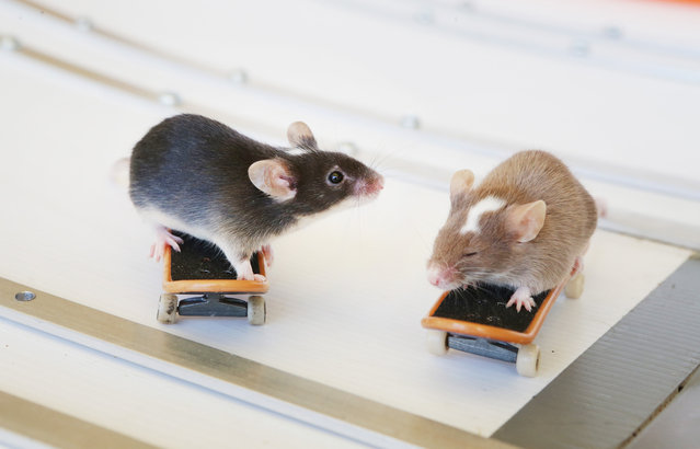 Skateboarding Mice By Shane Willmott