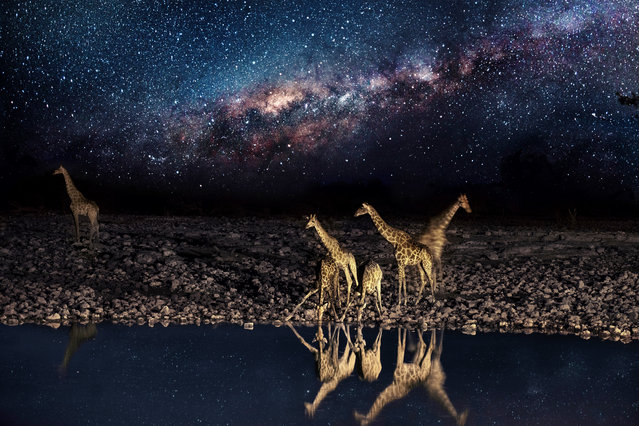 This watering hole is the social hub of the veldt; the scrubby grasslands that stretch across Namibia. The scorched earth supports sometimes fragile populations of magnificent wildlife – from endangered predators to plentiful herds of game. But these gentle giraffes and elephants need to be careful: lions don't sleep at night, they hunt! The spectacular starscape above southern Africa is unchanged since explorers first mapped the continent. The photographer, Pietro Olivetta from Italy, said he had to be patient to capture these shots – but it was worth the wait. (Photo by Pietro Olivetta/Caters News)