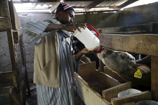 A worker feeds calves with milk from a feeding bottle at the L & Z dairy farm in Fari village on the outskirts of Nigeria's northern city of Kano January 18, 2016. (Photo by Akintunde Akinleye/Reuters)