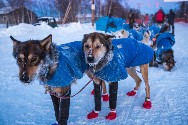 In this Friday, March 13, 2015,  Mitch Seavey's lead dogs with frosty whiskers at the Huslia, Alaska, checkpoint for the Iditarod Trail Sled Dog Race. (Photo by Loren Holmes/AP Photo/Alaska Dispatch News)