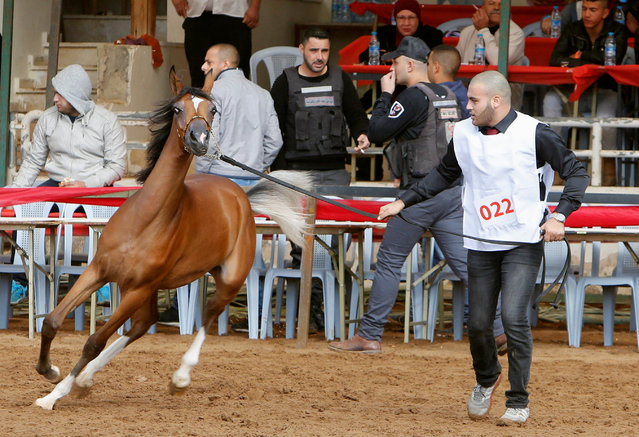 A Palestinian shows off a horse during a local championship for pure-bred Arabian horses in the West Bank city of Jericho December 2, 2016. (Photo by Abed Omar Qusini/Reuters)