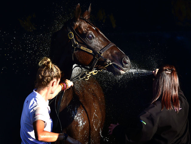 Black Revolver from the Chris Waller stable is washed down during Melbourne Racing at Mornington Racecourse on March 28, 2015 in Melbourne, Australia. (Photo by Vince Caligiuri/Getty Images)