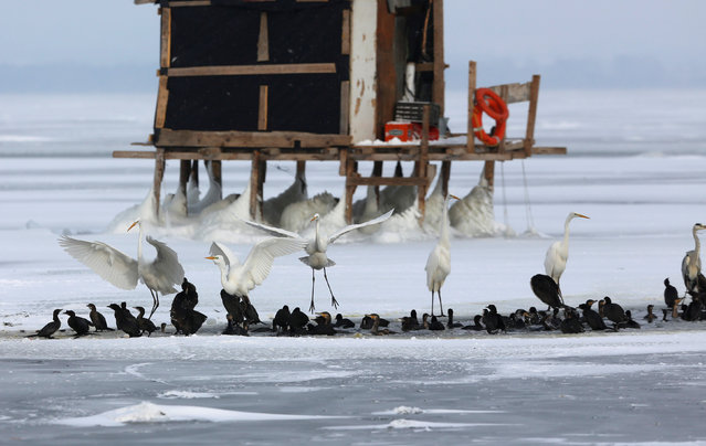 Birds gather near the last unfrozen part of the frozen Dojran lake, Macedonia January 11, 2017, as icy weather continues across Europe. (Photo by Ognen Teofilovski/Reuters)