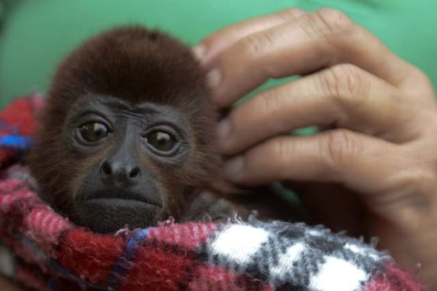 A volunteer carries a baby red howler monkey (Alouatta seniculus), during its recovery at the Santa fe zoo, in Medellin, Antioquia department, Colombia on December 17, 2013. Eight monkeys who had been under the care of the Santa Fe zoo as part of a wildlife conservation program after they were are torn away from their families in the forests and sold by traffickers to travelers within the country, were released into the wild. (Photo by Raul Arboleda/AFP Photo)
