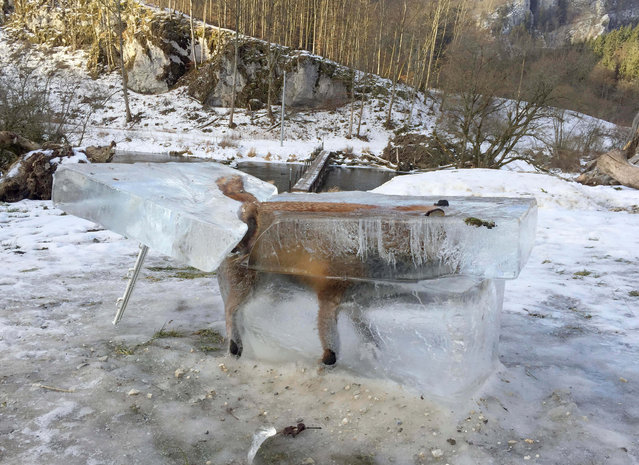A block of ice containing a drowned fox who broke through the thin ice of the Danube river four days earlier sits on the bank of the Danube river in Fridingen, southern Germany, Friday, January 13, 2017. (Photo by Johannes Stehle/DPA via AP Photo)