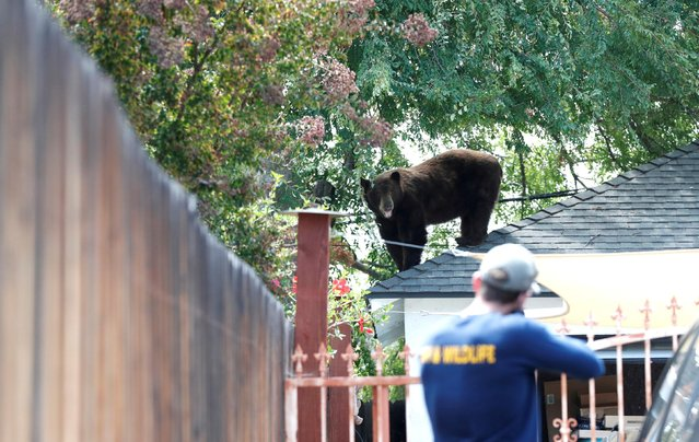 An officer from the California Department of Fish and Wildlife gets ready to tranquillize a bear in Pasadena, California, U.S., August 20, 2021. (Photo by Mario Anzuoni/Reuters)
