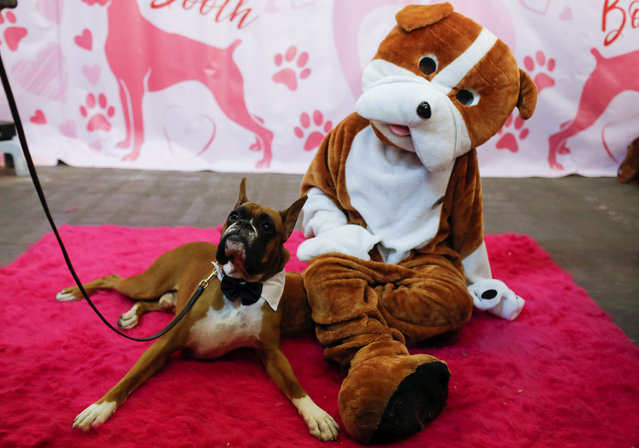 Devo, the Boxer, sits with a person in a dog costume in the Boxer breed booth during the AKC Meet the Breeds event ahead of the 143rd Westminster Kennel Club Dog Show in New York, February 9, 2019. (Photo by Andrew Kelly/Reuters)