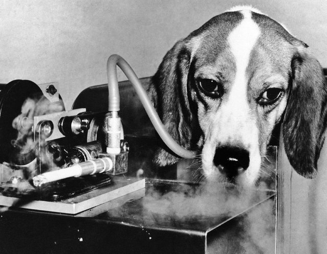 In this November 28, 1966 file photo, one of the 10 beagles involved in the first test of the Veterans Administration Hospital in East Orange, N.J. smokes a cigarette through a machine linked to its windpipe by a plastic tube to test any link between smoking and emphysema. (Photo by AP Photo)