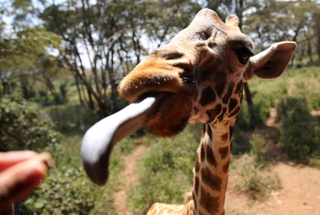 A visitor feeds a food pellet to a giraffe in the Giraffe Centre in Nairobi, Kenya January 15, 2017. (Photo by Goran Tomasevic/Reuters)