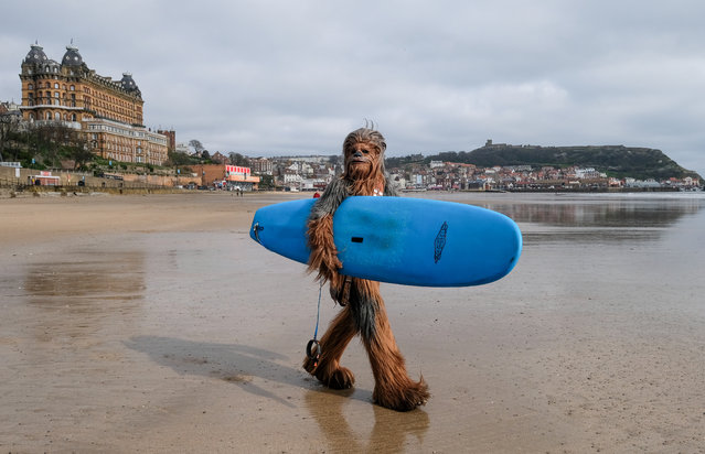 Will Hyde from Darlington wears the costume of the Chewbacca character from the movie Star Wars as he carries a surf board across the beach after interacting with surfers on the first day of the Scarborough Sci-Fi weekend at the seafront Spa Complex on April 06, 2019 in Scarborough, England. The North Yorkshire seaside town of Scarborough hosts the event for the sixth year and brought many areas of Sci-Fi fandom to entertain visitors and enthusiasts including guest star appearances, panel discussions, gaming, cosplay, props, comic books and merchandise stalls with many of those attending wearing costumes and outfits of their favourite Sci-Fi characters. (Photo by Ian Forsyth/Getty Images)