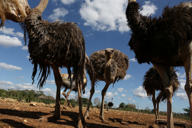 A flock of ostriches is seen at a farm on the outskirts of Havana, Cuba on April 11, 2019. (Photo by Fernando Medina/Reuters)