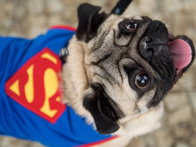 "A dog dressed as superman attends the animals' carnival parade ""Blocao"" at Copacabana in Rio de Janeiro. (Photo by Christophe Simon/AFP Photo)"