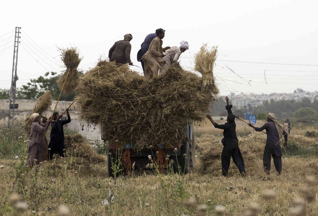 Pakistani farmers load their crop on a truck in suburbs of Islamabad, Pakistan, Tuesday, April 30, 2019. A devastating widespread hailstorm, torrential rains, and gusty winds earlier damaged tons of standing mature wheat crop in the Punjab and Khyber Pukhtoon Khawa provinces, an official said. (Photo by B.K. Bangash/AP Photo)