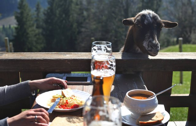 A goat begs for food as people have a meal and beer at the Beichelstein-Alpe outdoor restaurant near Seeg, southern Germany, on March 27, 2017. (Photo by Karl-Josef Hildenbrand/AFP Photo/DPA)