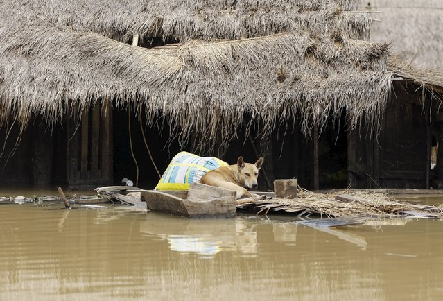 A dog seen is seen next to a home on a flooded street in a village at Kawlin township, Sagaing division, Myanmar, July 21, 2015. (Photo by Soe Zeya Tun/Reuters)