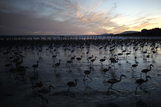 Volunteers (rear) wade across a lagoon at dawn to gather flamingo chicks and place them inside a corral at the Fuente de Piedra natural reserve, near Malaga, southern Spain, July 19, 2014. Around 600 flamingos were tagged and measured before being placed in the lagoon, one of the largest colonies of flamingos in Europe, according to authorities of the natural reserve. (Photo by Jon Nazca/Reuters)