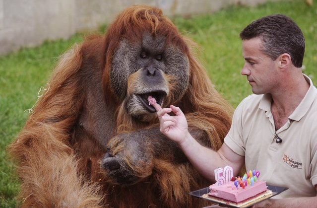 The Oldest Captive Orangutan in the World