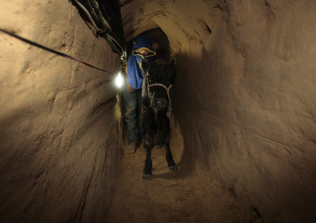 A Palestinian smuggler pushes a calf through a tunnel beneath the Egyptian-Gaza border October 24, 2008. (Photo by Mohammed Salem/Reuters)