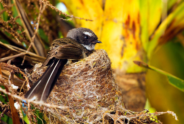 Fantails are some of New Zealand's smallest and most agile birds, surviving in some of the most toxic and corrosive environments in New Zealand. (Photo by Tom Walker/BBC Pictures/The Guardian)