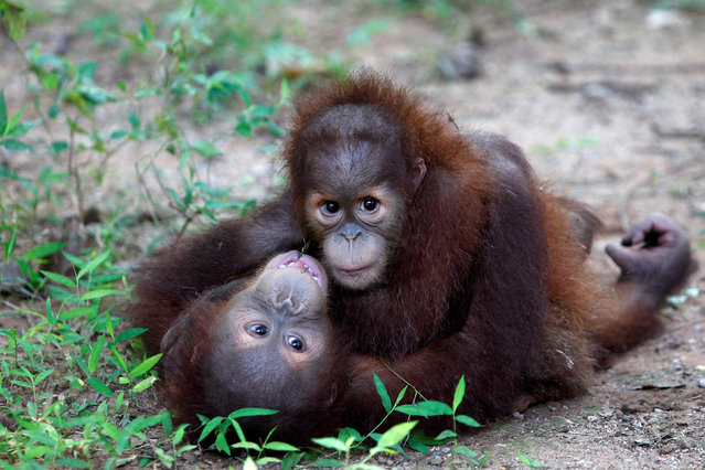 Two baby Sumatran orangutans rescued by border officials who foiled a bid to smuggle them into Thailand play after arriving at a wildlife center at Ratchaburi province in Thailand  September 13, 2017. (Photo by Kerek Wongsa/Reuters)