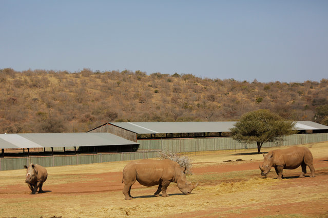 The eight-years-old White Rhino Seha (L) grazes with two white rhino females, six weeks after being relocated to this game farm from a previous boma near Johannesburg in Bela Bela, South Africa, 07 September 2017. Seha was darted by Saving the Survivors vets for further treatment to his open wound left by poachers after they hacked off his horn. (Photo by Kim Ludbrook/EPA/EFE)