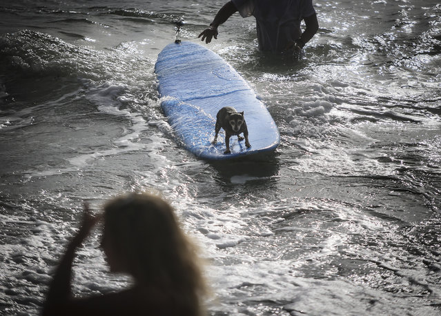 Lucy, a 9-year-old Miniature Pinscher-Chihuahua mix belonging to Luis Mercado of North Palm Beach, competes in the second heat of the small dogs division at the Hang 20 Surf Dog Classic at Carlin Park in Jupiter Saturday, August 29, 2015. (Photo by Bruce R. Bennett/The Palm Beach Post)