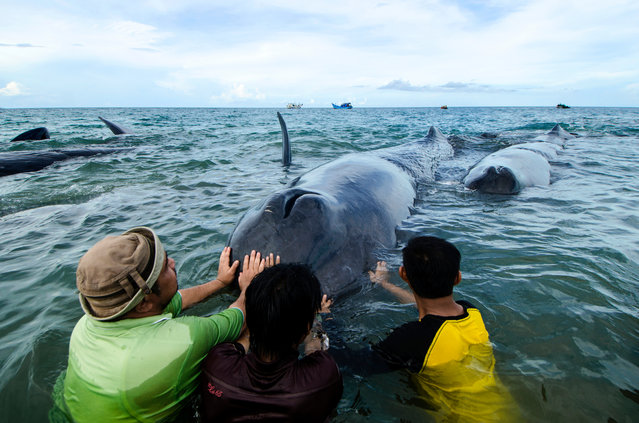 Allegedly wounded among them, Nine whales stranded on Ujong Kareung Beach, in Aceh province, Indonesia, Monday, November 13, 2017. Rescuers and communities are trying to push whales stranded back into the sea, this stranded whale is a sperm whale. (Photo by Riza Azhari/Pacific Press/Barcroft Images)