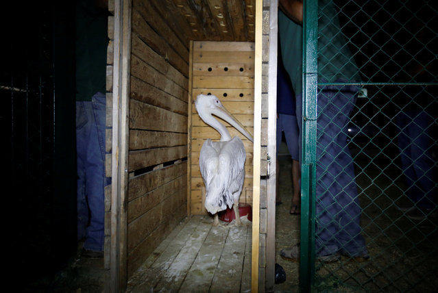 A pelican which was taken out of Gaza by Four Paws International sits inside a crate after arriving in Amman, Jordan, August 24, 2016. (Photo by Muhammad Hamed/Reuters)