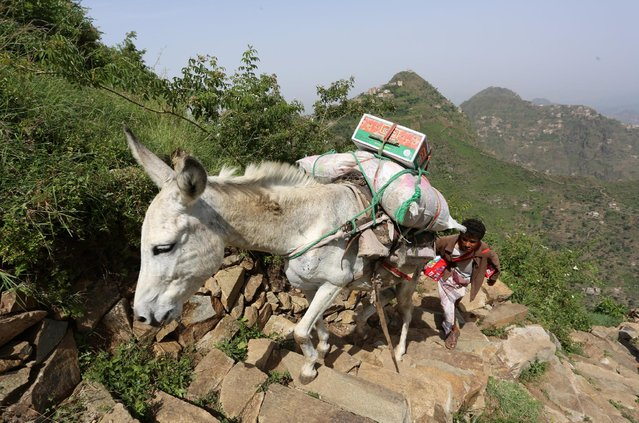 A man carries food supplies on a donkey to Dhalamlam Mountain in the Jafariya district of the western province of Raymah, Yemen June 2, 2016. (Photo by Abduljabbar Zeyad/Reuters)