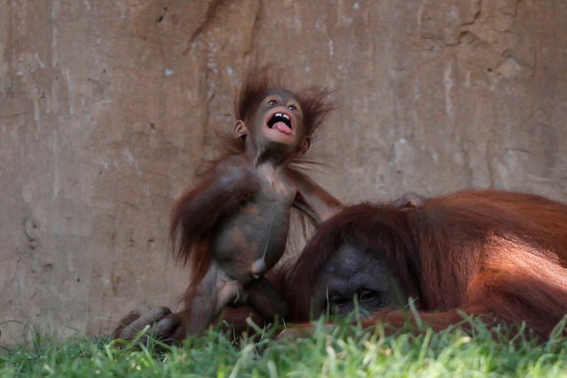 A five-month-old baby female Bornean orangutan (Pongo pygmaeus) plays with her mother Sulli at Bioparc Fuengirola in Fuengirola, near Malaga, southern Spain, September 12, 2016. (Photo by Jon Nazca/Reuters)