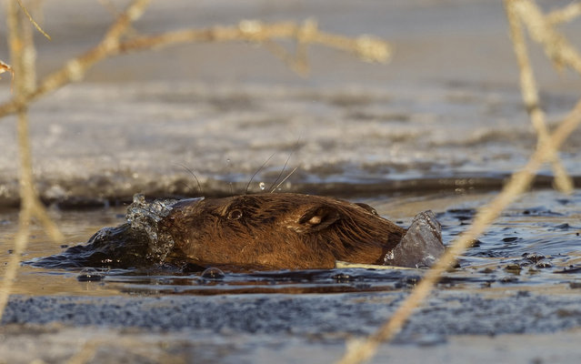A beaver swims in a icy channel of the Nalibokskaia Pushcha reserve near the village of Rum, some 85 km (53 miles) west of Minsk, March 7, 2013. (Photo by Vasily Fedosenko/Reuters)