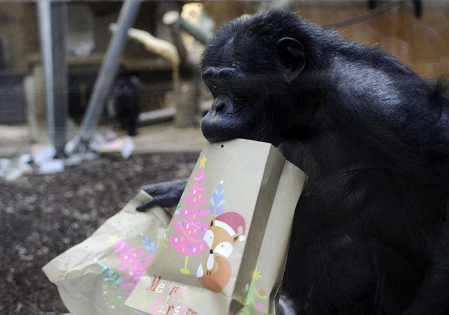 A Chimpanzee carries Christmas goody bags at Hannover Zoo on December 22, 2014 in Hanover, Germany. Chimpanzees and polar bears received early Christmas gifts today from zoo keepers two days before Christmas. (Photo by Alexander Koerner/Getty Images)