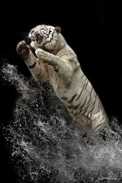 A White Bengal Tiger By Birte Person