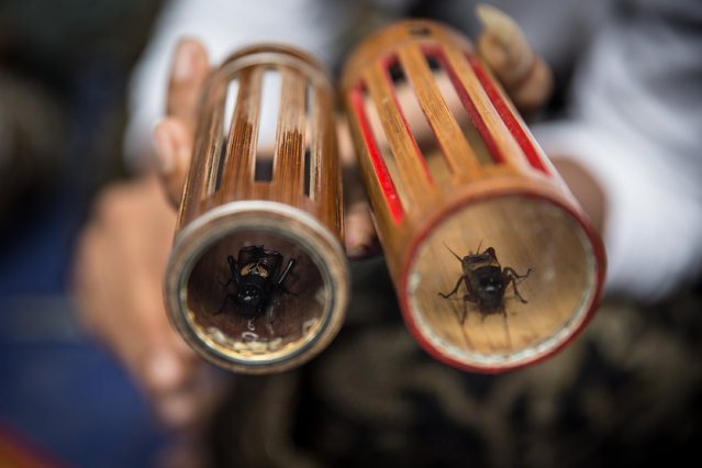 A cricket breeder shows his two adult fighter crickets on a bamboo tubes called Bumbung. (Photo by A. A. Gde Agung/JG Photo)