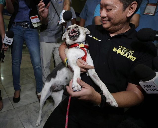 Kabang, a two-year-old injured mixed breed, is cuddled by Filipino veterinarian Anton Lim upon arrival at the Ninoy Aquino International Airport in Pasay city, south of Manila, Philippines, early Saturday June 8, 2013 from San Francisco, Calif. Kabang that lost half her face saving the lives of two girls returned home after treatment at the University of California, Davis, veterinary hospital for seven months with $27,000 in donations raised in the Philippines and abroad. (Photo by Bullit Marquez/AP Photo)