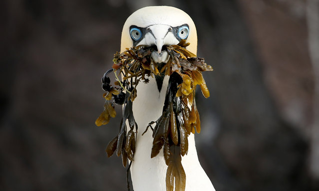 A Northern gannet picks up seaweed on Bass Rock in the Firth of Forth, Scotland on June 3, 2018 where thousands of the sea birds are gathering nest material as they prepare for the new breeding season, forming the largest single-island colony of gannets in the world. (Photo by Jane Barlow/PA Images via Getty Images)