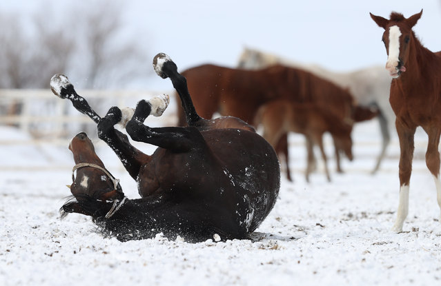 General Directorate of Agricultural Enterprises' (TIGEM) newly born foals enjoy snow for the first time, at a TIGEM farm n Mahmudiye district of Eskisehir, Turkey on February 18, 2021. (Photo by Ali Atmaca/Anadolu Agency via Getty Images)