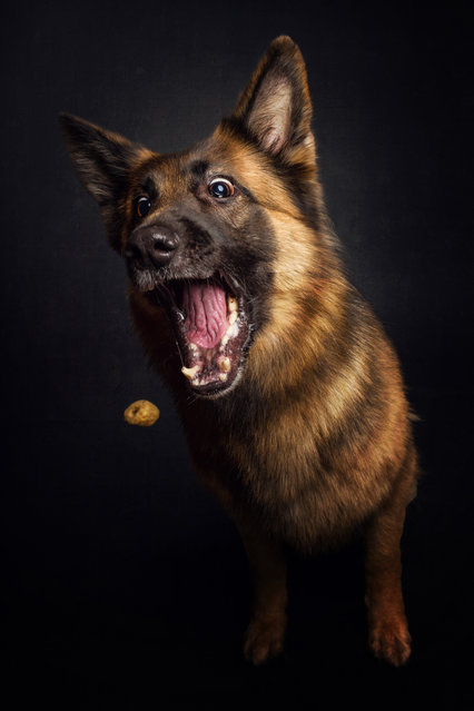 """A German shepherd. """"So I have to master the challenge of what to do and when to do it in order to get the best results out of the day"""". (Photo by Christian Vieler/Caters News)"""