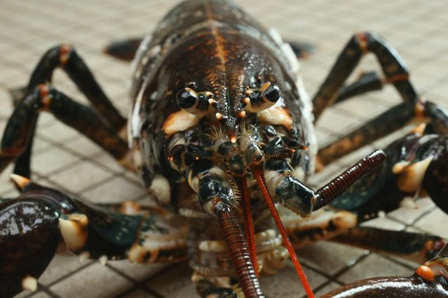 A live adult female European lobster (Homarus gammarus) lies on the floor for a photo at the Helgoland Biological Institute (Biologische Anstalt Helgoland), part of the Alfred Wegener Institute for Polar and Marine Research, on August 3, 2013 on Helgoland Island, Germany. (Photo by Sean Gallup/Getty Images)