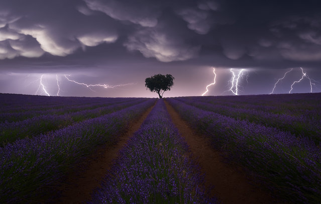 Category winner, open competition, landscape. Electric Storm on Lavender, a dramatic photograph capturing the moment lightning strikes a flowering field of lavender with a solitary tree at its centre, set against a dusky evening sky. Taken in the province of Guadalajara, Spain. (Photo by Juan Lopez Ruiz/Sony World Photography Awards)