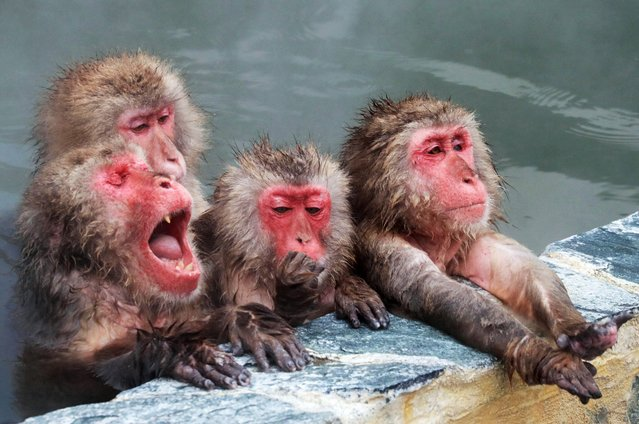 Japanese macaques are relaxed in an outdoor hot spring bath at Hakodate Tropical Botanical Garden on December 1, 2016 in Hakodate, Hokkaido, Japan. The garden offers the hot spring treatment to macaques until May next year. (Photo by The Asahi Shimbun via Getty Images)