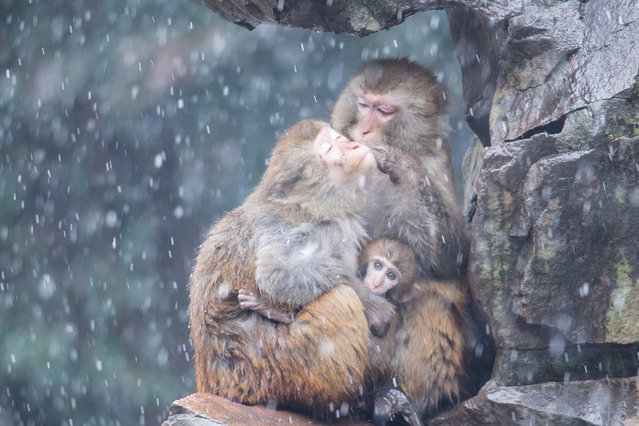 Monkeys take shelter under a rock in the snow in a zoo in Hangzhou in east China's Zhejiang province 21 January 2016. A powerful cold front is sweeping through China, bringing snow to the south. (Photo by Xu Kangping/EPA)