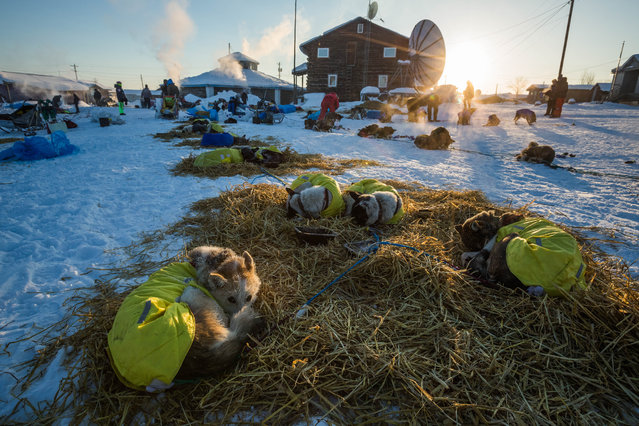 Wade Marrs' lead dog Pop, far left, curls up to keep warm at the Kaltag, Alaska, checkpoint during the Iditarod Trail Sled Dog Race, Sunday, March 15, 2015. (Photo by Loren Holmes/AP Photo/Alaska Dispatch News)
