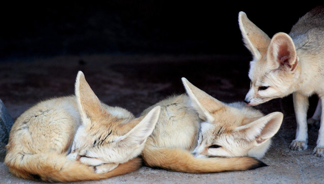 Fennec fox. (Photo by In Cherl Kim)