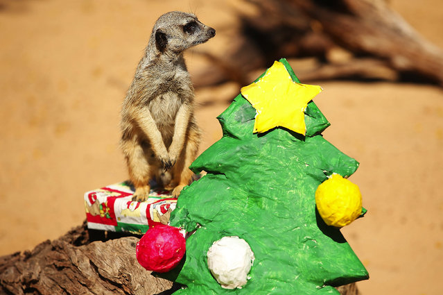 A Meerkat opens a wrapped present at Taronga Zoo on December 20, 2013 in Sydney, Australia. (Photo by Brendon Thorne/Getty Images)