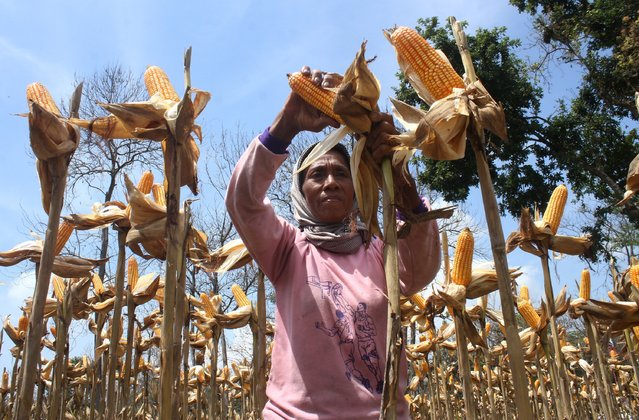 A farmer harvests corn in Ngawi, Indonesia's East Java province, February 23, 2016 in this picture taken by Antara Foto.  Indonesia's state procurement agency Bulog will only import 200,000 tonnes of corn in the first quarter, lower than previous indications the government would bring in up to 600,000 tonnes, a company executive said on Thursday. Picture taken February 23, 2016. (Photo by Ari Bowo Sucipto/Reuters/Antara Foto)