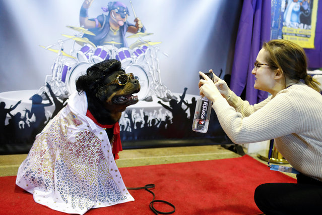 Talos the Rottweiler is photographed at the Rottapalooza booth during the AKC Meet the Breeds event ahead of the 143rd Westminster Kennel Club Dog Show in New York, February 9, 2019. (Photo by Andrew Kelly/Reuters)