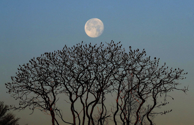 The waning moon sets behind leafless sumac trees on a crisp, clear morning, Thursday, December 15, 2016, in Portland, Maine. Much of the northern Mid-Atlantic and Northeast will stay cold for the next couple of days as the arctic air remains stuck over the northern Appalachians, the National Weather Service said. (Photo by Robert F. Bukaty/AP Photo)
